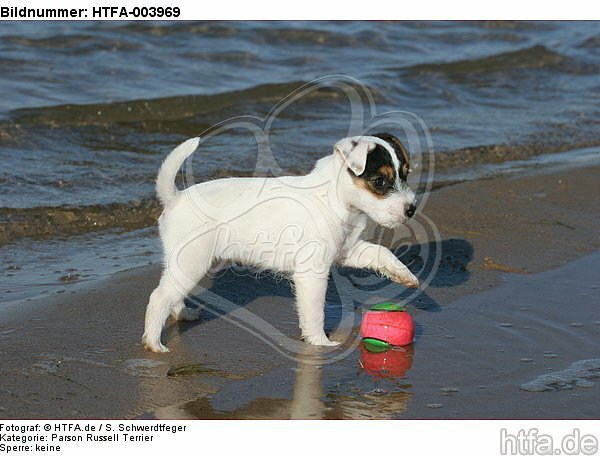 Parson Russell Terrier Welpe / parson russell terrier puppy / HTFA-003969