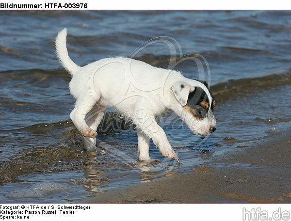 Parson Russell Terrier Welpe / parson russell terrier puppy / HTFA-003976