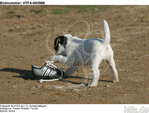 Parson Russell Terrier Welpe / parson russell terrier puppy / HTFA-003989