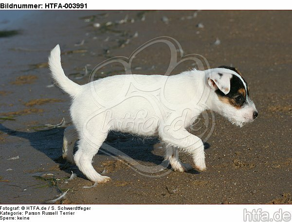 Parson Russell Terrier Welpe / parson russell terrier puppy / HTFA-003991