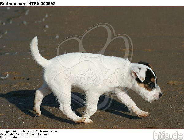 Parson Russell Terrier Welpe / parson russell terrier puppy / HTFA-003992