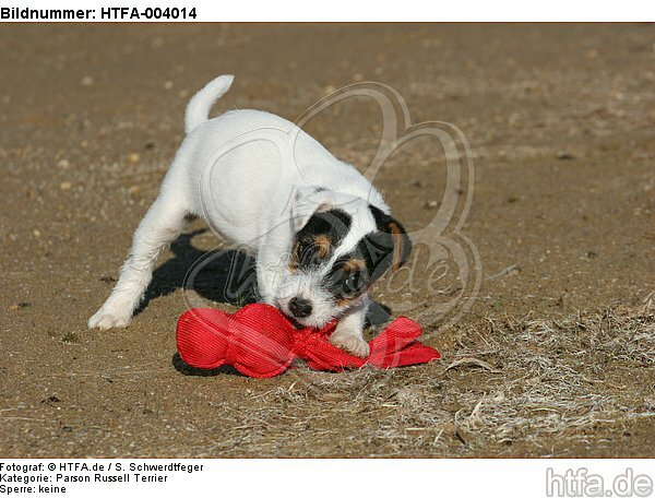 Parson Russell Terrier Welpe / parson russell terrier puppy / HTFA-004014
