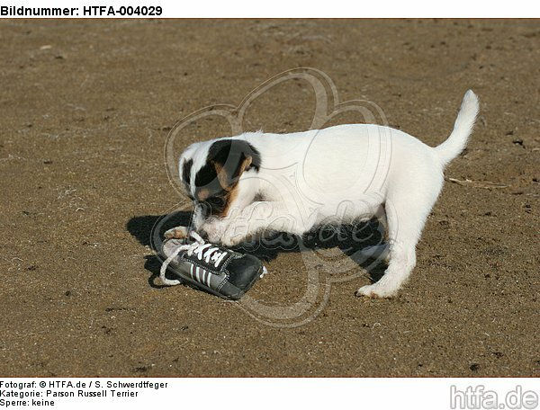 Parson Russell Terrier Welpe / parson russell terrier puppy / HTFA-004029