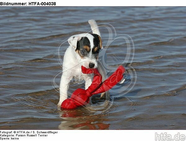 Parson Russell Terrier Welpe / parson russell terrier puppy / HTFA-004038