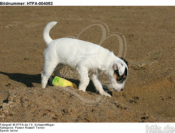 Parson Russell Terrier Welpe / parson russell terrier puppy / HTFA-004053