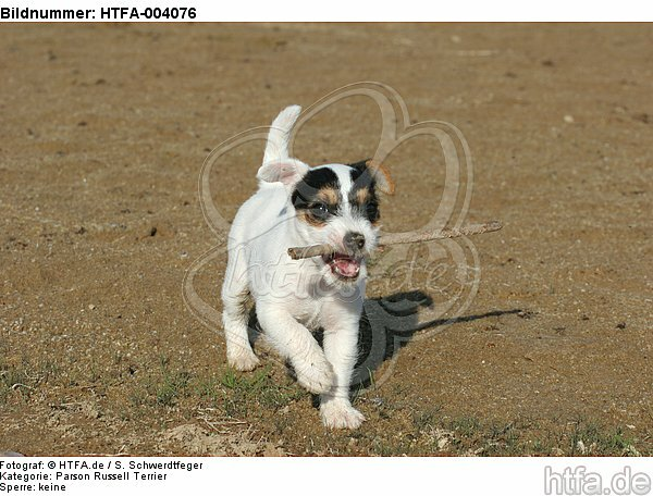 Parson Russell Terrier Welpe / parson russell terrier puppy / HTFA-004076