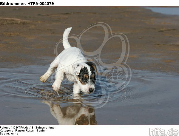 Parson Russell Terrier Welpe / parson russell terrier puppy / HTFA-004079