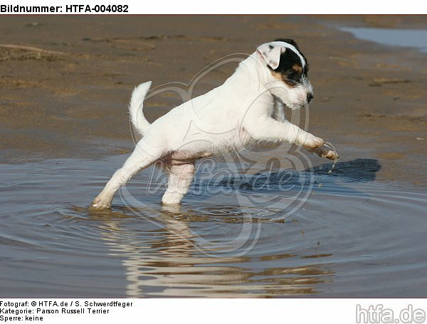 Parson Russell Terrier Welpe / parson russell terrier puppy / HTFA-004082