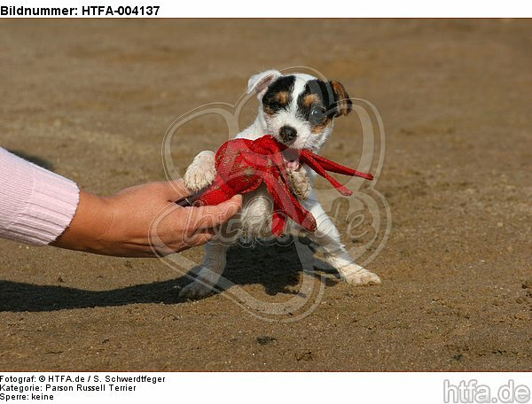 Parson Russell Terrier Welpe / parson russell terrier puppy / HTFA-004137