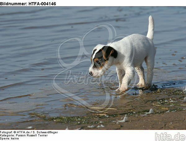 Parson Russell Terrier Welpe / parson russell terrier puppy / HTFA-004146