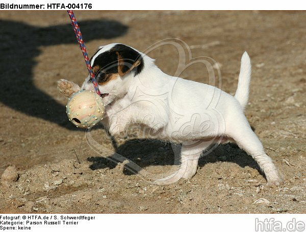 Parson Russell Terrier Welpe / parson russell terrier puppy / HTFA-004176