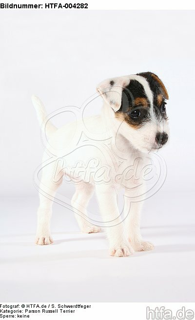 Parson Russell Terrier Welpe / parson russell terrier puppy / HTFA-004282