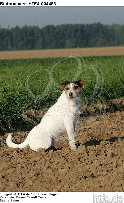 Parson Russell Terrier / HTFA-004486