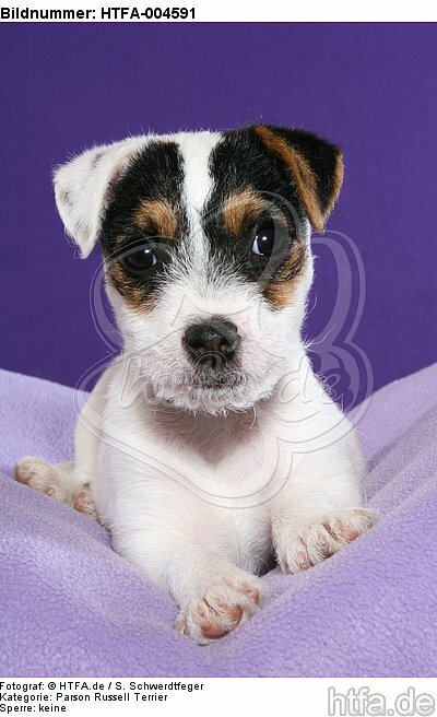 Parson Russell Terrier Welpe / parson russell terrier puppy / HTFA-004591