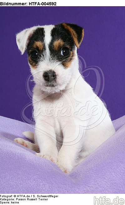 Parson Russell Terrier Welpe / parson russell terrier puppy / HTFA-004592