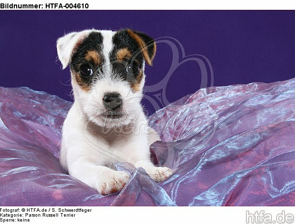 Parson Russell Terrier Welpe / parson russell terrier puppy / HTFA-004610
