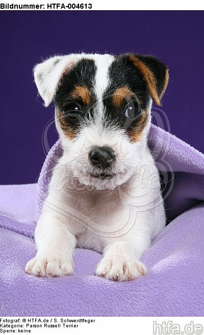 Parson Russell Terrier Welpe / parson russell terrier puppy / HTFA-004613