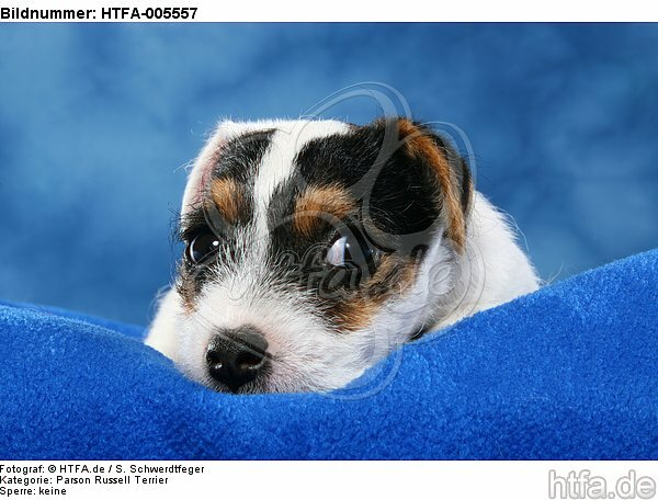 Parson Russell Terrier Welpe / parson russell terrier puppy / HTFA-005557