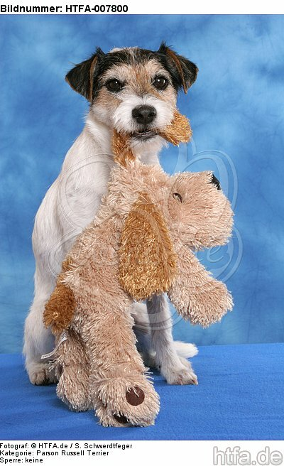 Parson Russell Terrier / HTFA-007800