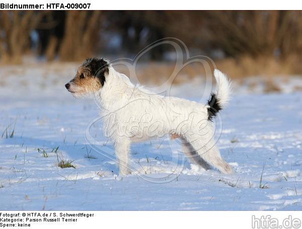 Parson Russell Terrier im Schnee / prt in snow / HTFA-009007