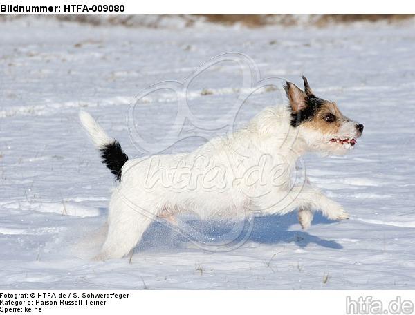 Parson Russell Terrier rennt durch den Schnee / PRT running through snow / HTFA-009080