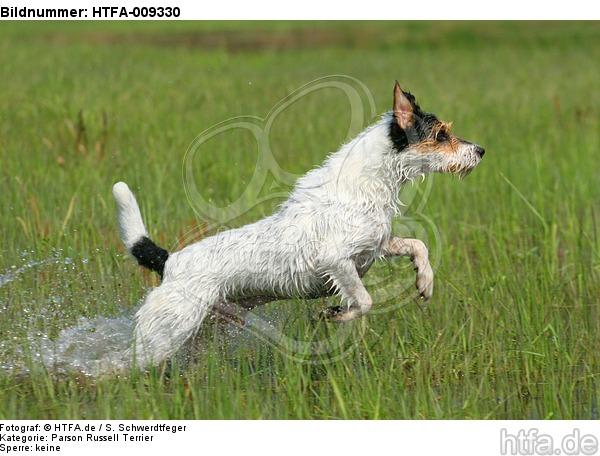 rennender Parson Russell Terrier / running PRT / HTFA-009330
