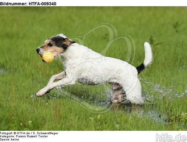 spielender Parson Russell Terrier / playing PRT / HTFA-009340