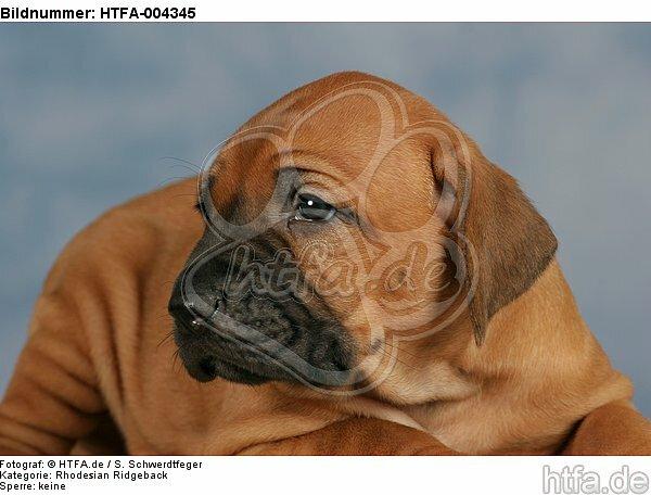 Rhodesian Ridgeback Welpe / rhodesian ridgeback puppy / HTFA-004345