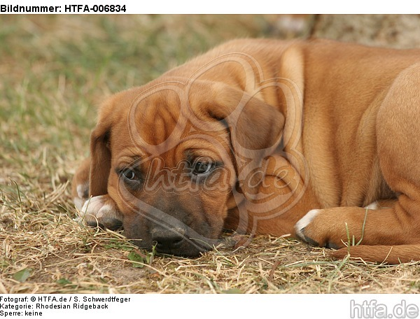 Rhodesian Ridgeback Welpe / rhodesian ridgeback puppy / HTFA-006834