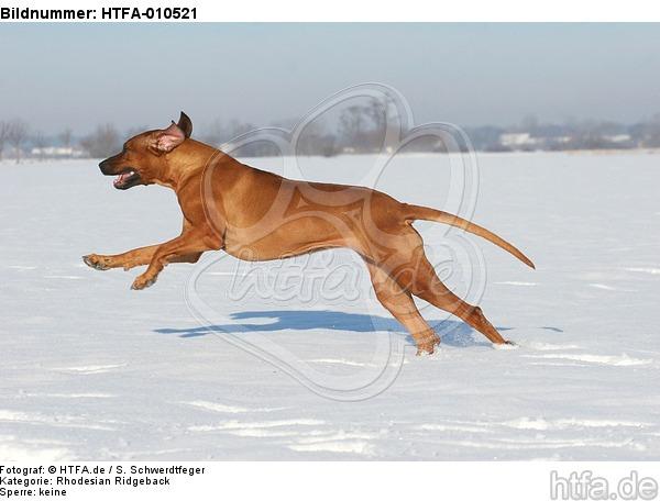 rennender Rhodesian Ridgeback / running Rhodesian Ridgeback / HTFA-010521