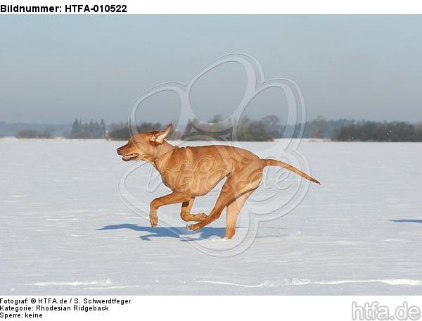 rennender Rhodesian Ridgeback / running Rhodesian Ridgeback / HTFA-010522