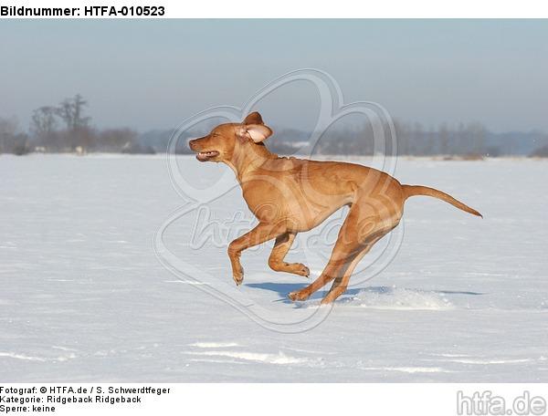 rennender Rhodesian Ridgeback / running Rhodesian Ridgeback / HTFA-010523