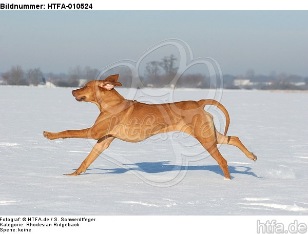 rennender Rhodesian Ridgeback / running Rhodesian Ridgeback / HTFA-010524