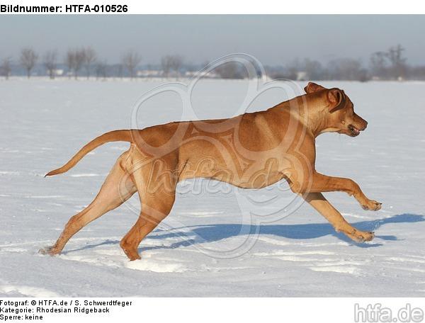 rennender Rhodesian Ridgeback / running Rhodesian Ridgeback / HTFA-010526