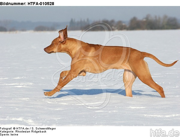 rennender Rhodesian Ridgeback / running Rhodesian Ridgeback / HTFA-010528