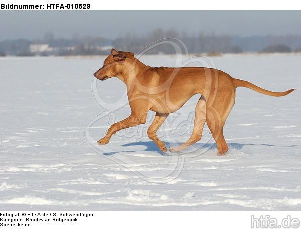 rennender Rhodesian Ridgeback / running Rhodesian Ridgeback / HTFA-010529