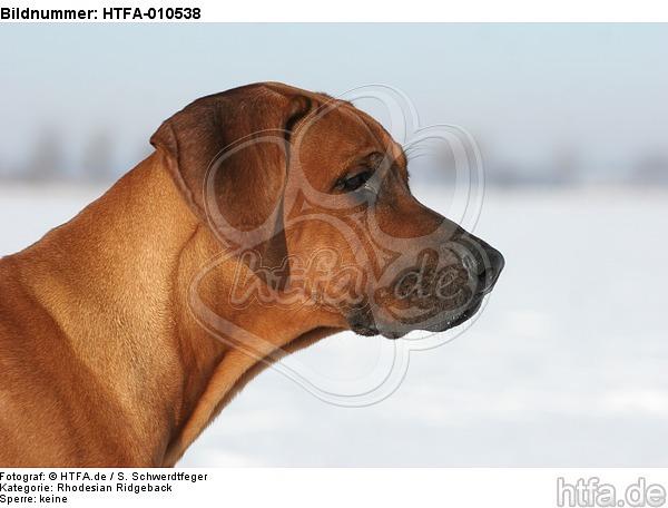 Rhodesian Ridgeback Portrait / HTFA-010538