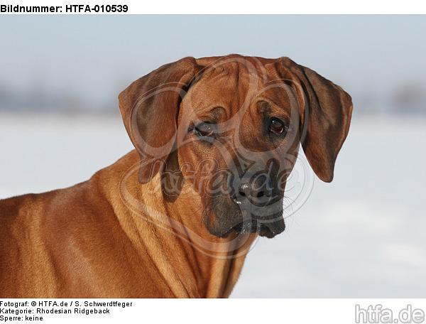Rhodesian Ridgeback Portrait / HTFA-010539