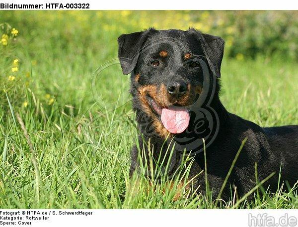 Rottweiler / HTFA-003322