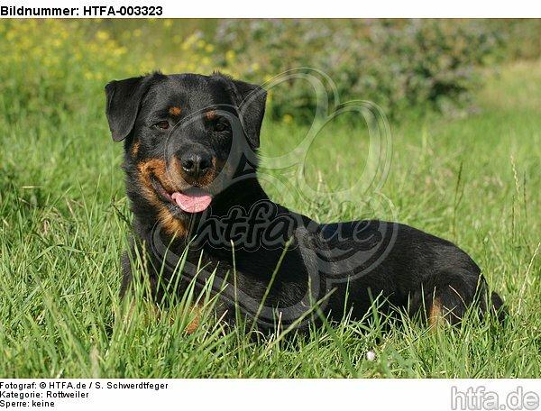 Rottweiler / HTFA-003323