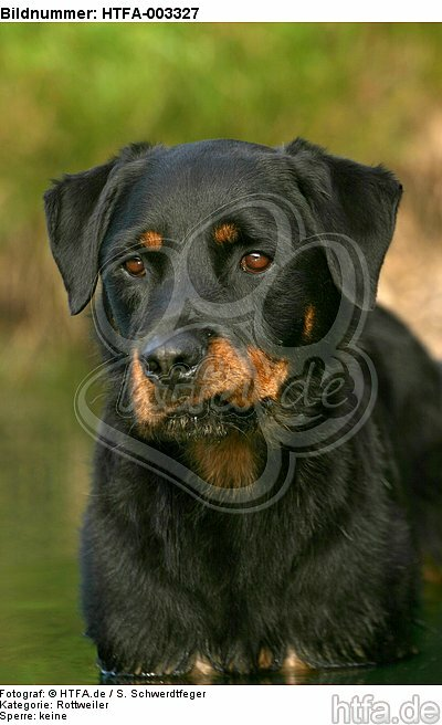 Rottweiler / HTFA-003327