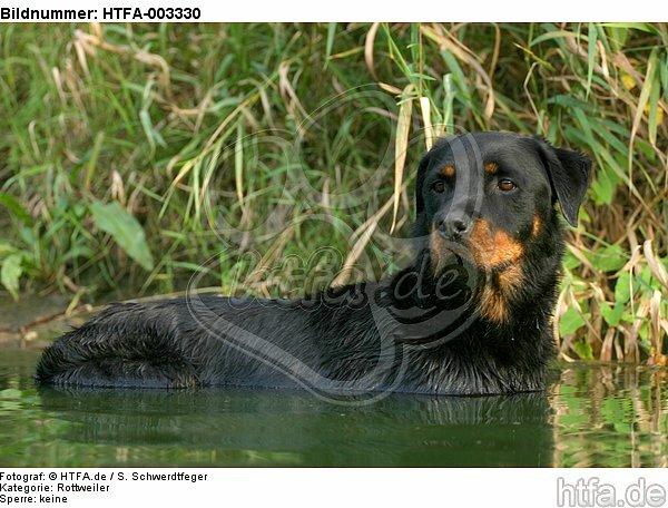 Rottweiler / HTFA-003330