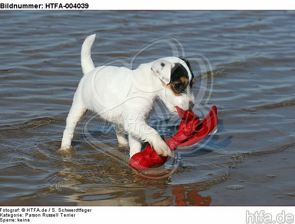 Parson Russell Terrier Welpe / parson russell terrier puppy / HTFA-004039