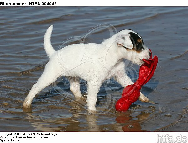 Parson Russell Terrier Welpe / parson russell terrier puppy / HTFA-004042