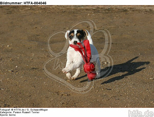 Parson Russell Terrier Welpe / parson russell terrier puppy / HTFA-004046