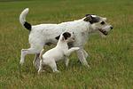 laufende Parson Russell Terrier / walking PRT