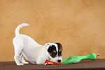 spielender Parson Russell Terrier Welpe / playing PRT puppy