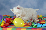 spielender West Highland White Terrier Welpe / playing West Highland White Terrier Puppy