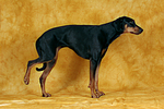 Dobermann hebt Bein / Doberman Pinscher shows trick