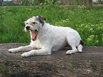 g�hnender Parson Russell Terrier / yawning PRT